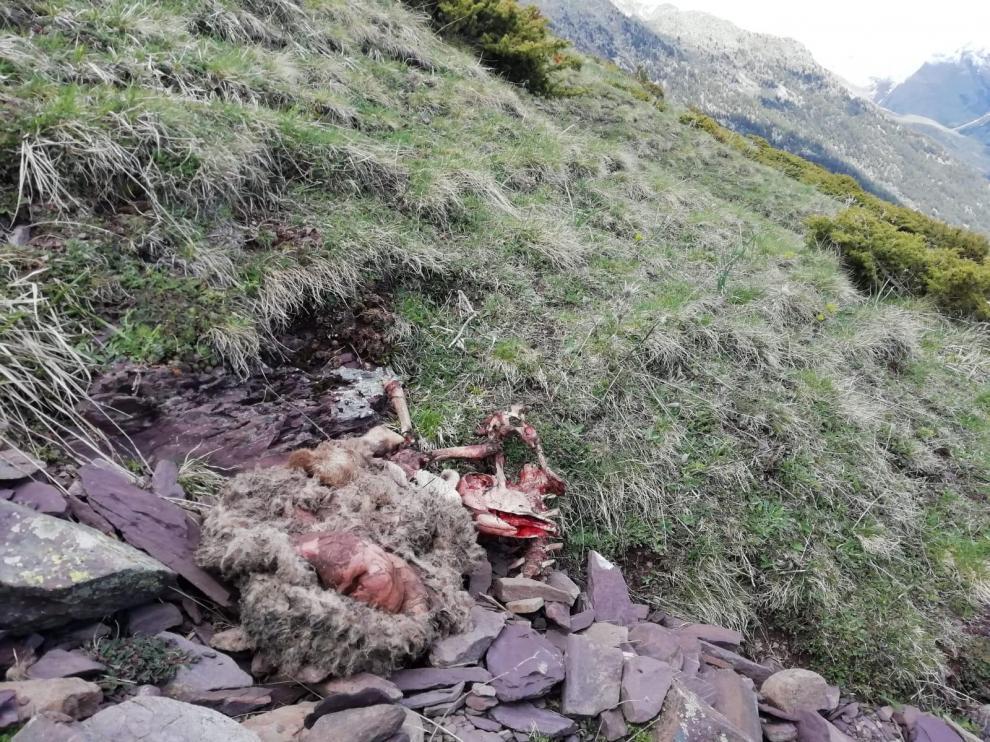 El oso Goiat mata a cuatro ovejas en los últimos cinco días en Gistaín