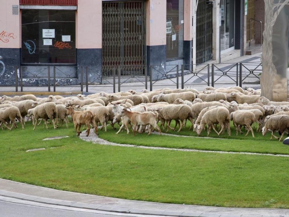 """Un """"mar"""" de ovejas trashumantes inunda Huesca la mañana de este jueves"""