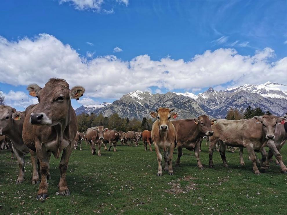 Ganaderos del valle de Benasque llevan sus vacas a pastos más altos