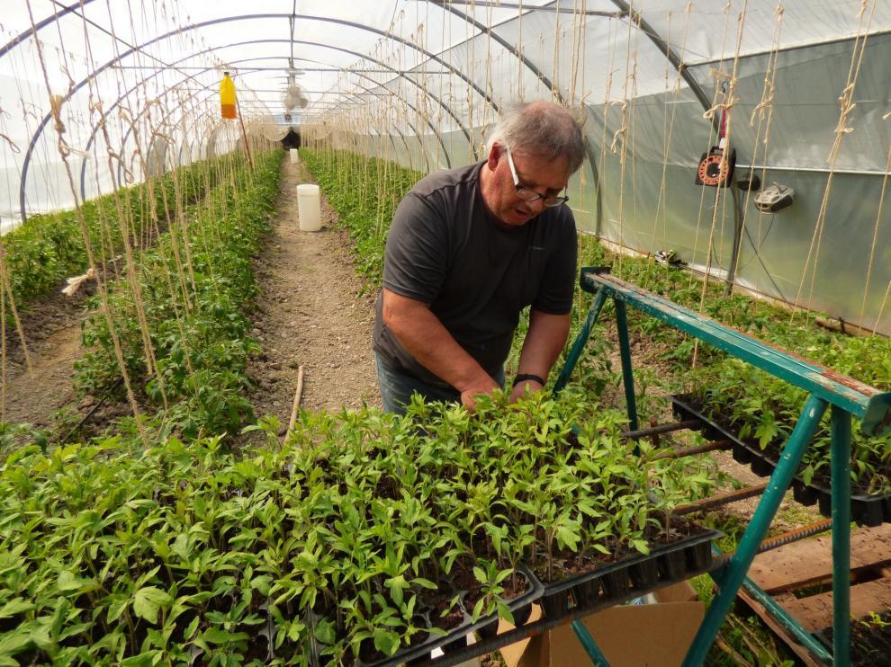 La música clásica mejora un 25 % la productividad del Tomate Rosa ecológico