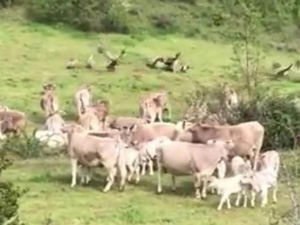 Un rebaño de vacas defiende a una madre y su ternero de los buitres en el valle de Benasque