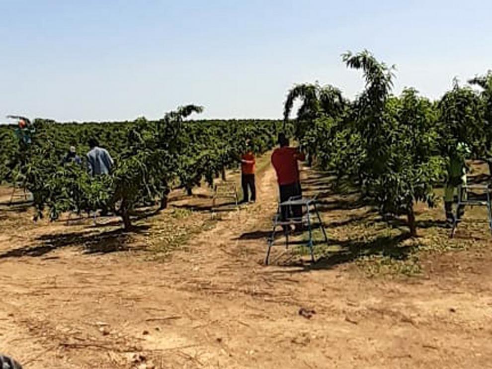 Avisan de falta de mano de obra extranjera para la fruta