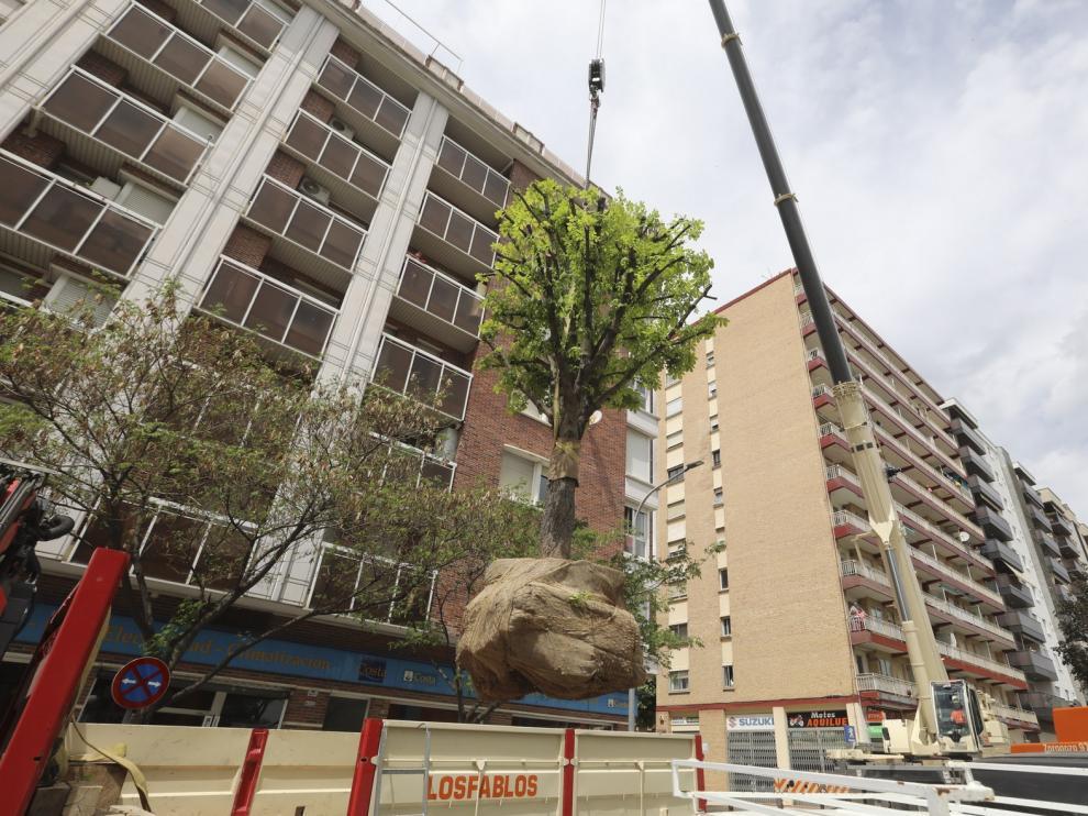 El castaño de la plaza Santo Domingo de Huesca se replanta en el Pasaje Almériz