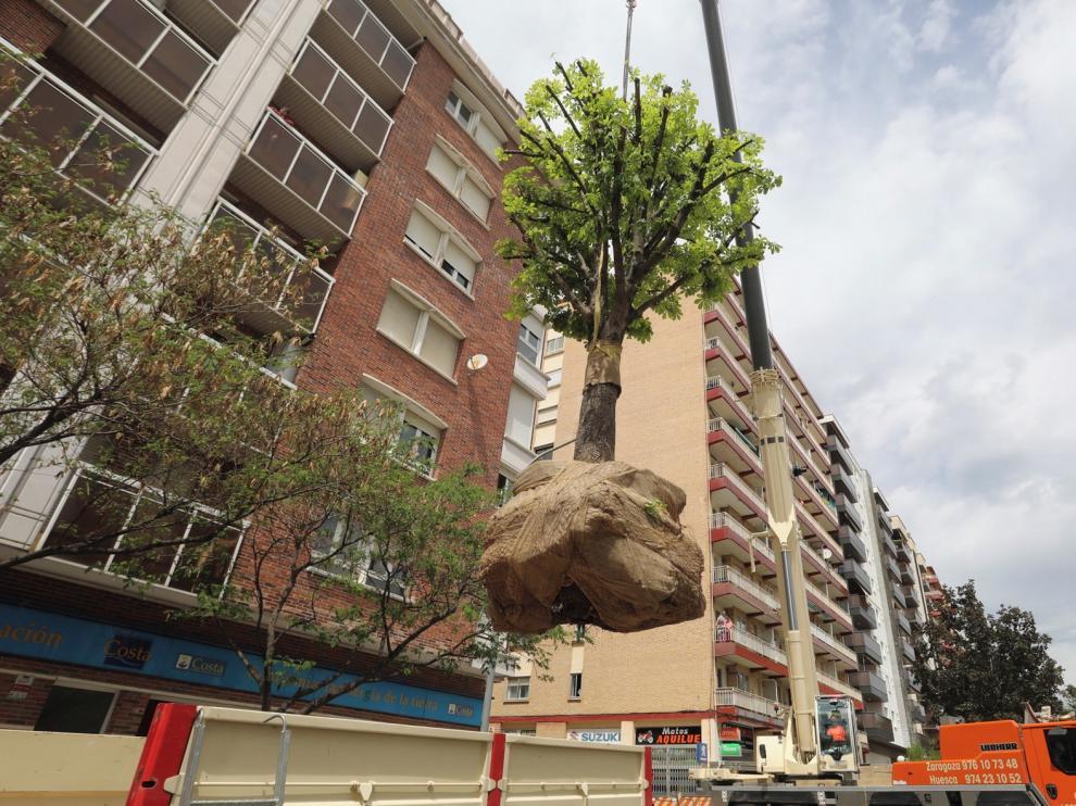 Con Huesca exige que el urbanismo se adapte a los árboles de la ciudad