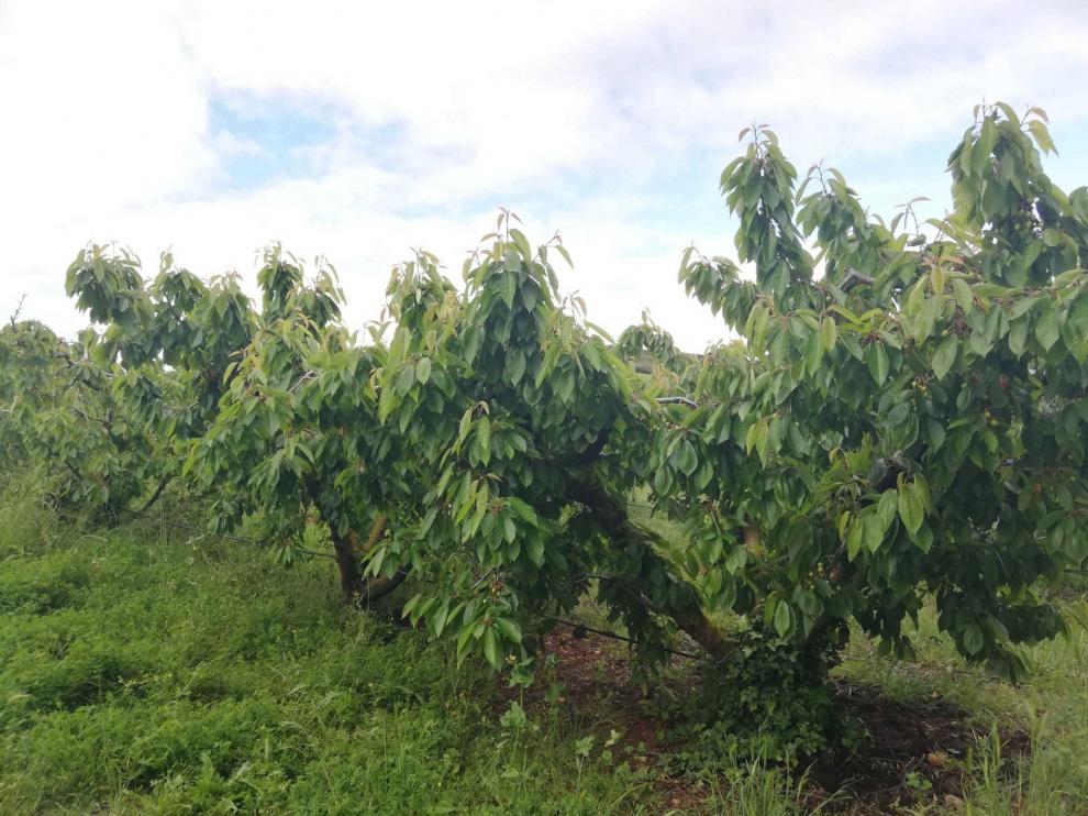Estimación dispar sobre la campaña de cereza en Bolea