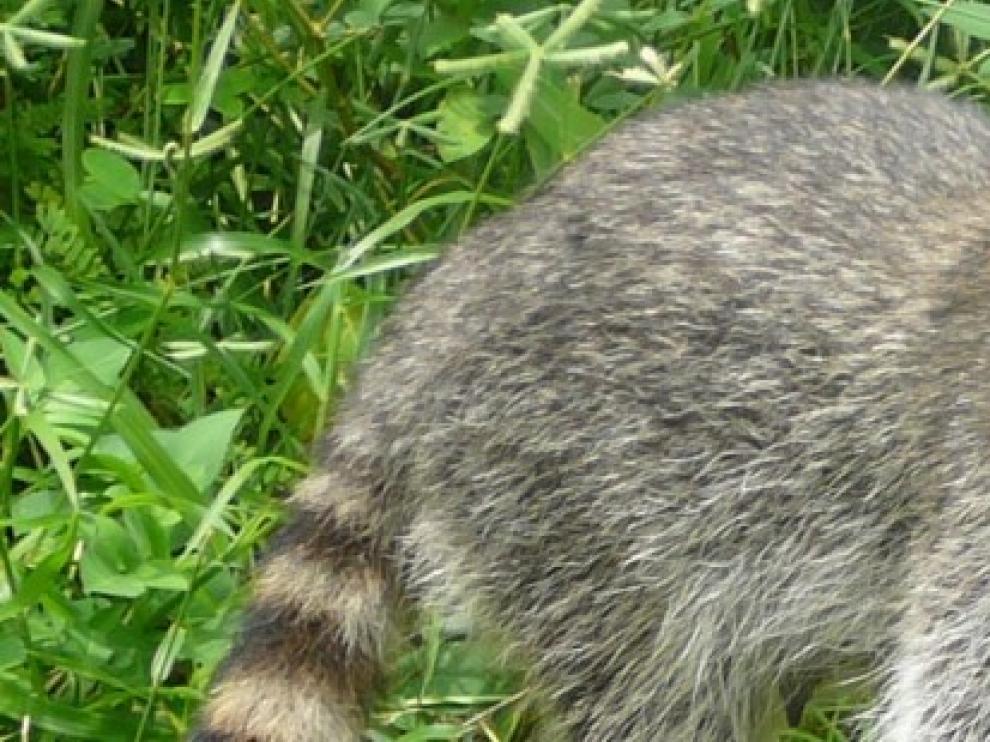 Localizado un mapache atropellado junto a Quinto de Ebro