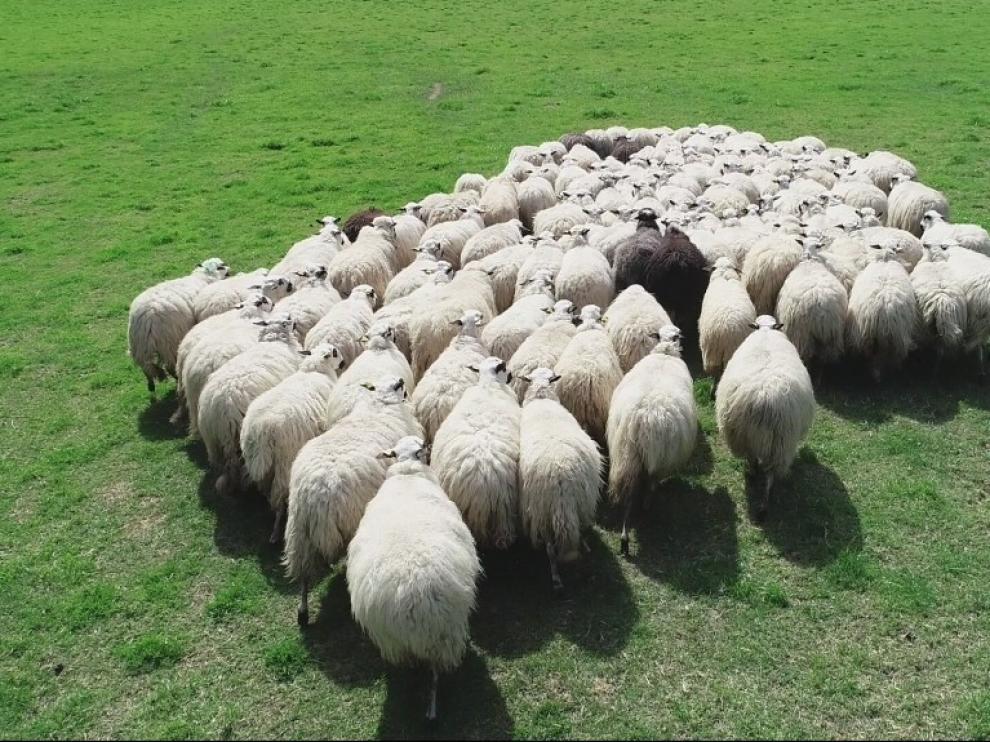 """""""Pastores aéreos"""" para vigilar los rebaños en los pastos de montaña de la Jacetania"""