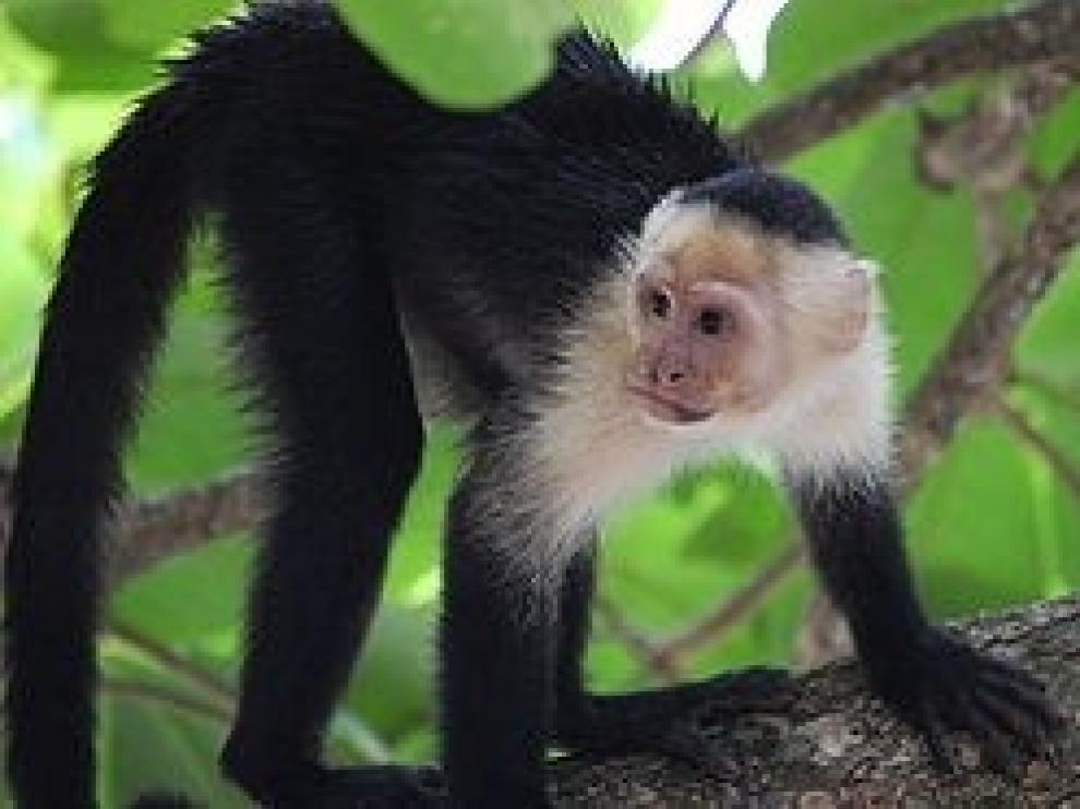 Se escapa del zoo de Madrid un mono capuchino tras discutir con su jefe