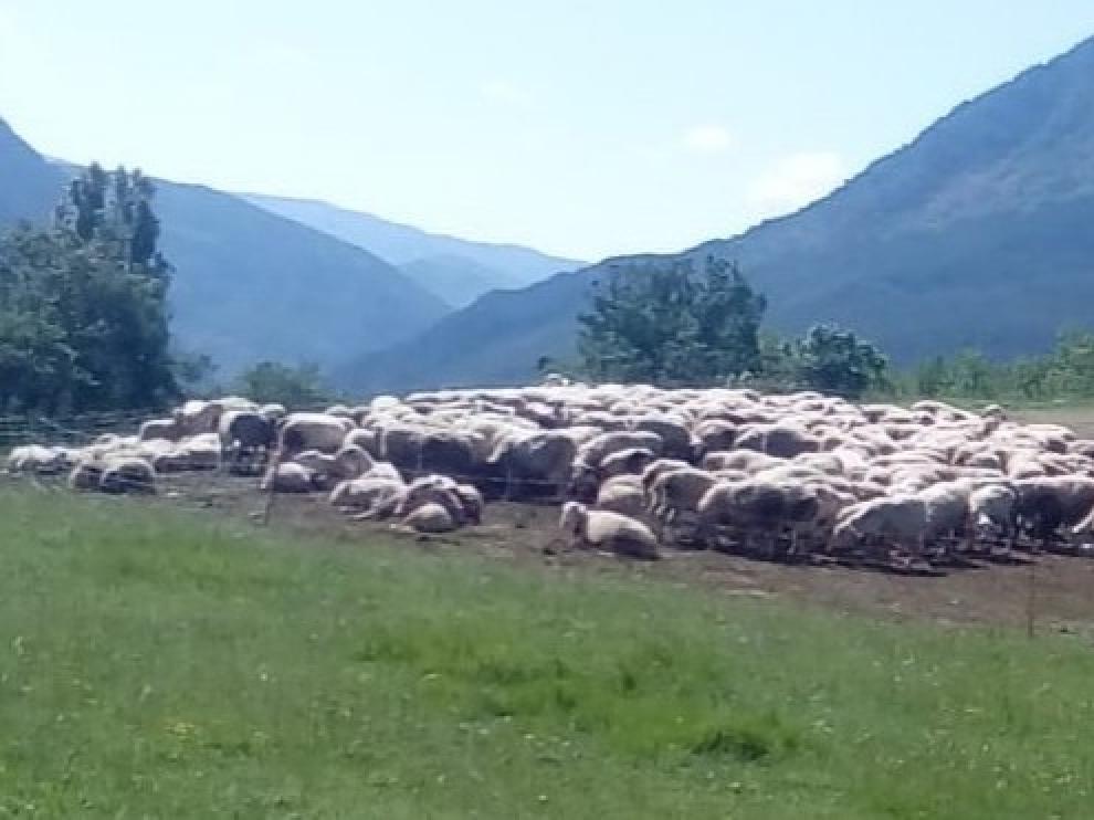 Los buitres acechan a un rebaño de ovejas en el municipio de Sopeira