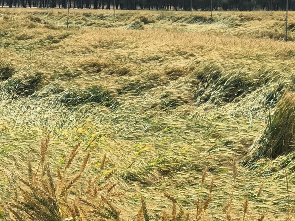 La cosecha de cereal se retrasa debido a las intensas lluvias