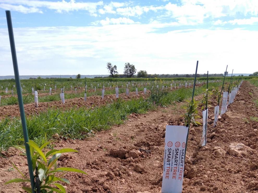 El almendro superintensivo en secano, una revolución agraria