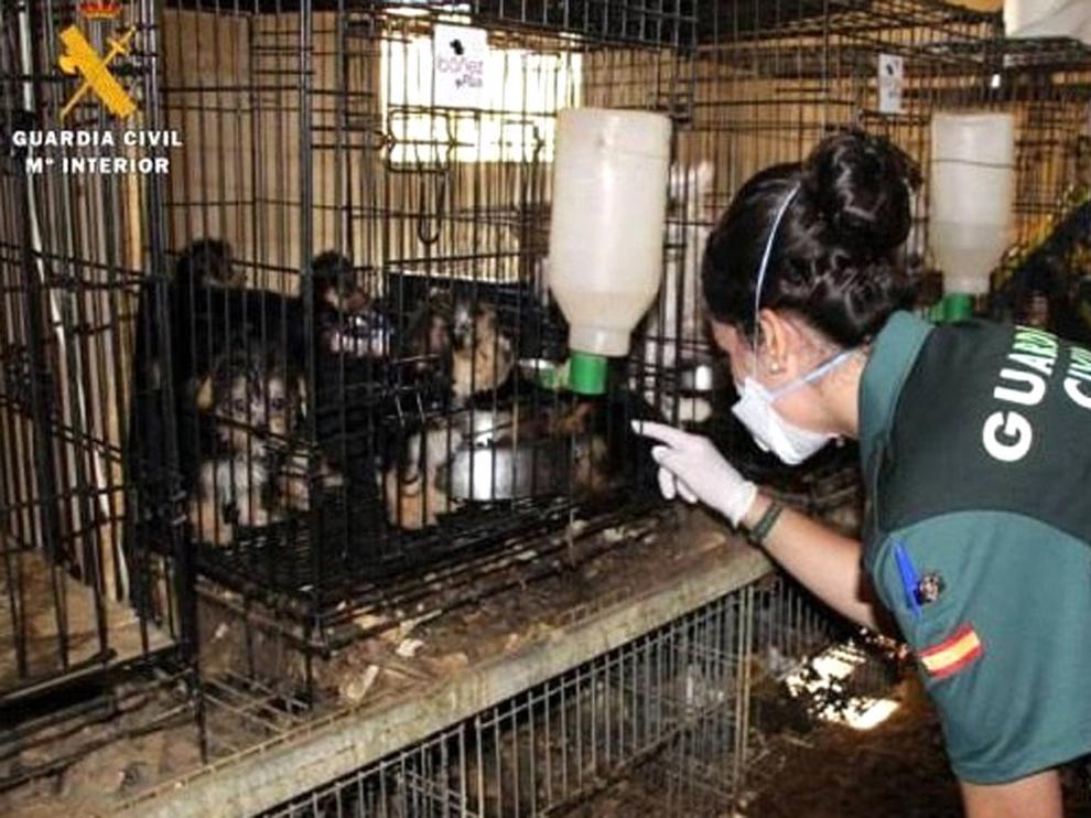 Dos investigados por maltrato de 544 perros en Maella