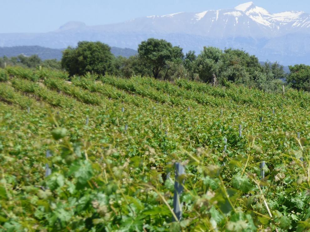 Los viñedos del Somontano, en pleno apogeo de desarrollo