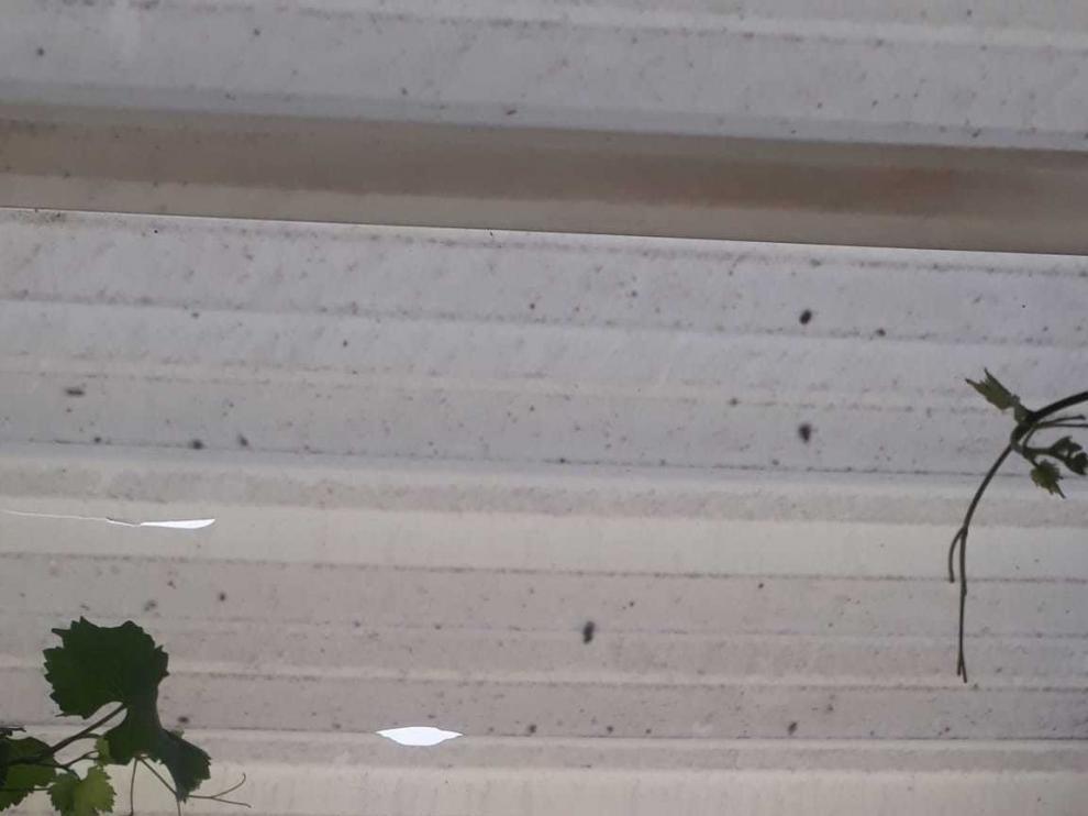 El granizo del miércoles daña frutales en Osso de Cinca