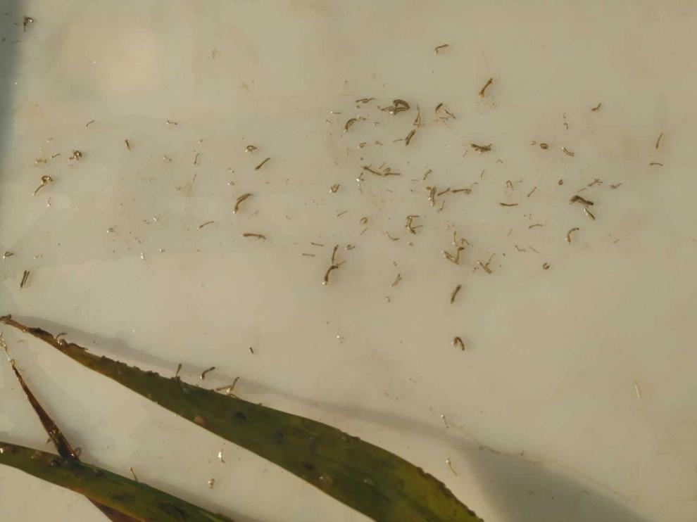 El primer tratamiento contra la mosca negra muestra gran eficacia