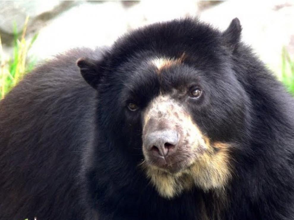 Un santuario para osos de anteojos explotados