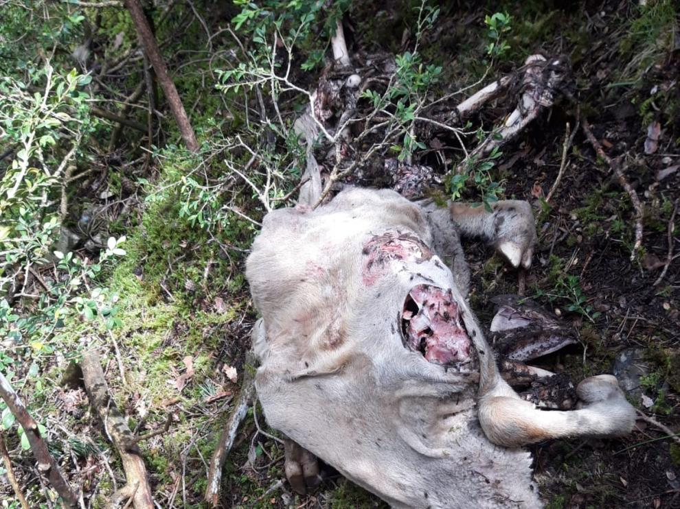 Sendos ataques de osos a reses en Jacetania y Ribagorza