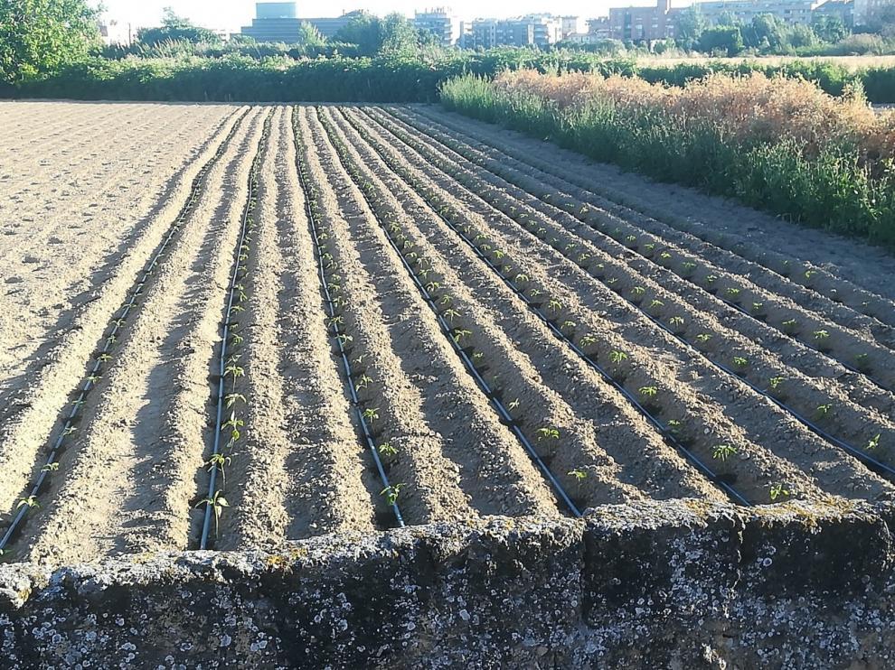 La Huerta Barbereta plantará más albahaca que ningún año para San Lorenzo