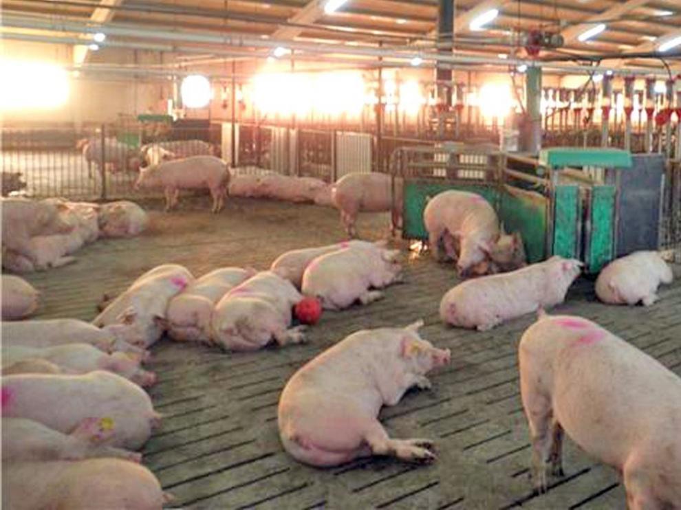 Aragón contará con un ciclo de FP Dual especializado en porcino el próximo curso