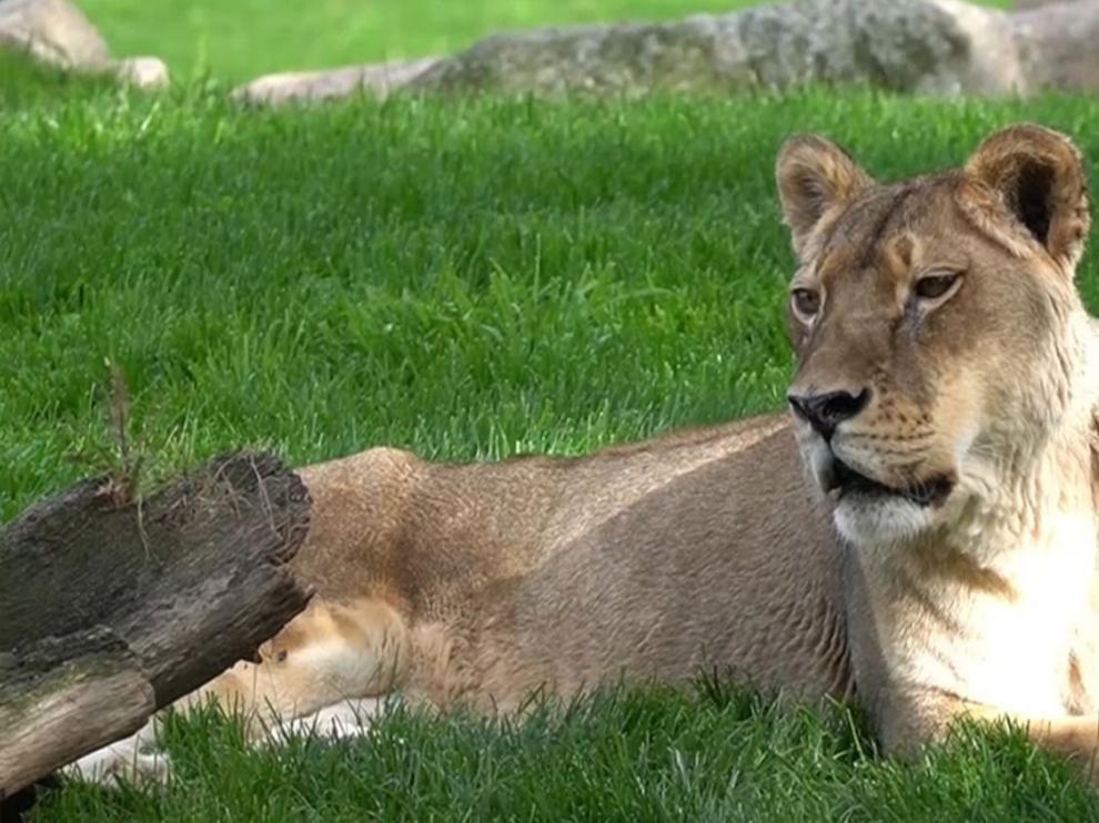 """Muere """"Fa"""", la leona más longeva de España"""