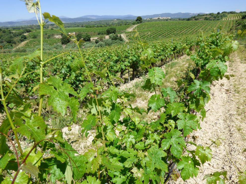El granizo genera pocas incidencias en viñedos de la D.O. Somontano