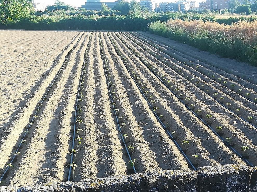 Huerta Barbereta plantará más albahaca que ningún año para San Lorenzo