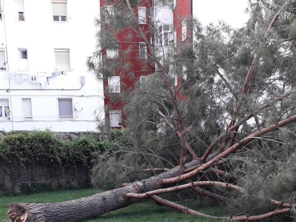 Se viene abajo un árbol en una zona verde junto al Centro Benito Moliner de Huesca