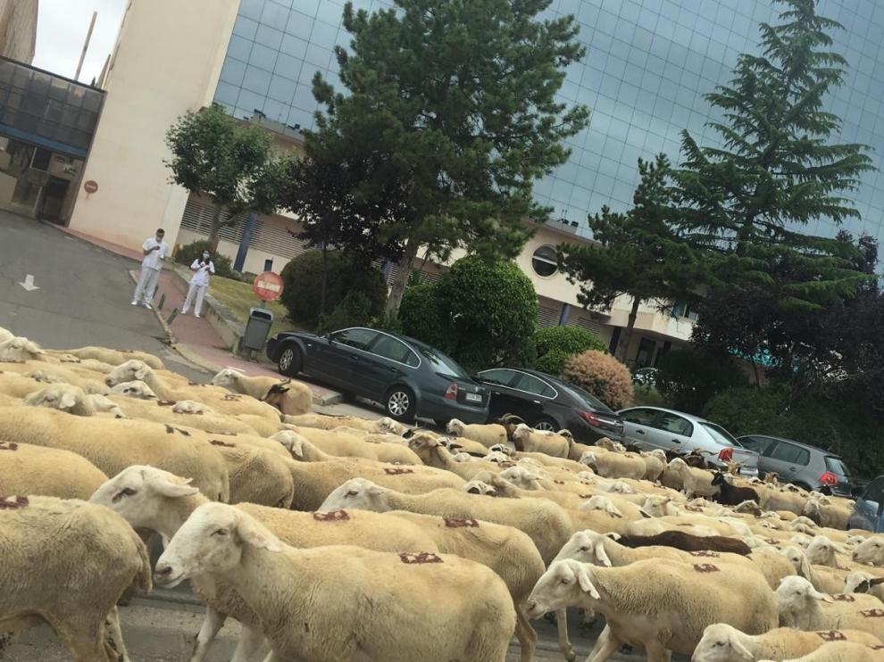 """Un """"mar"""" de ovejas inunda Huesca y surca sus calles en su paso hacia La Sotonera"""