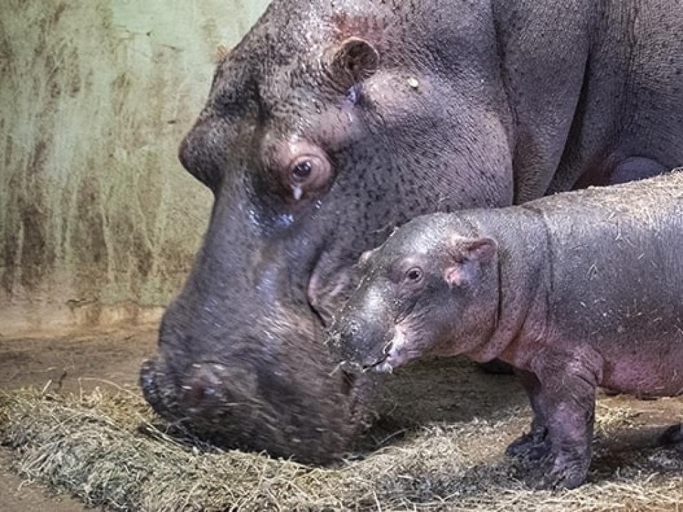 El hipopótamo nacido durante la cuarentena en el Bioparc de Valencia es macho
