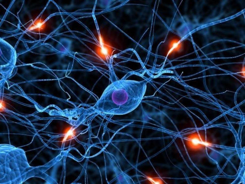 Descubierto un mecanismo sobre la distribución de las neuronas