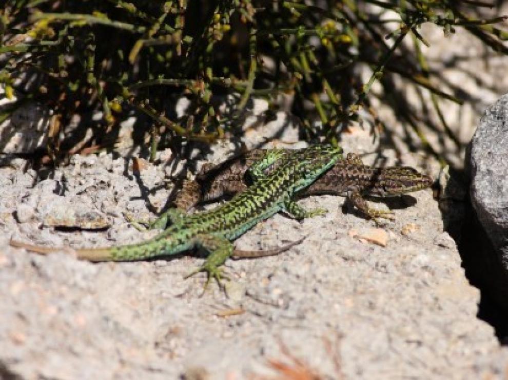 Las lagartijas y sus estrategias reproductivas
