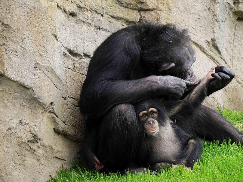 El chimpancé huérfano de Bioparc Fuengirola consigue ser aceptado por su madre adoptiva