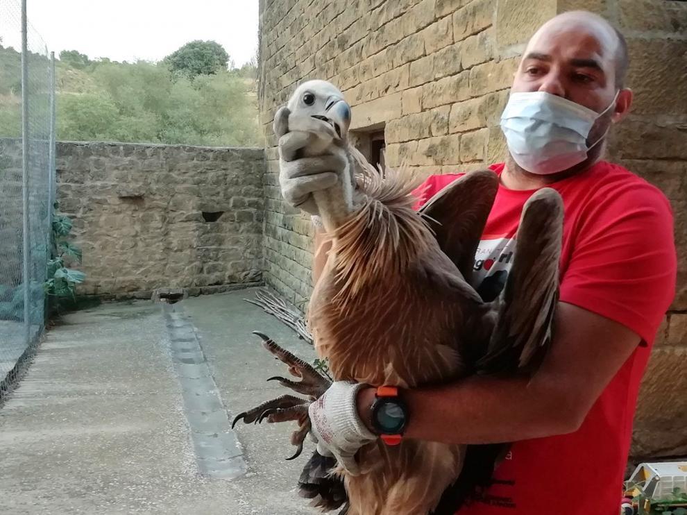 Rescatado un buitre leonado en Murillo de Gállego