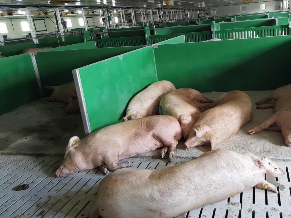 El 62 % de las industrias de porcino se encuentran en pueblos de menos de 5.000 vecinos