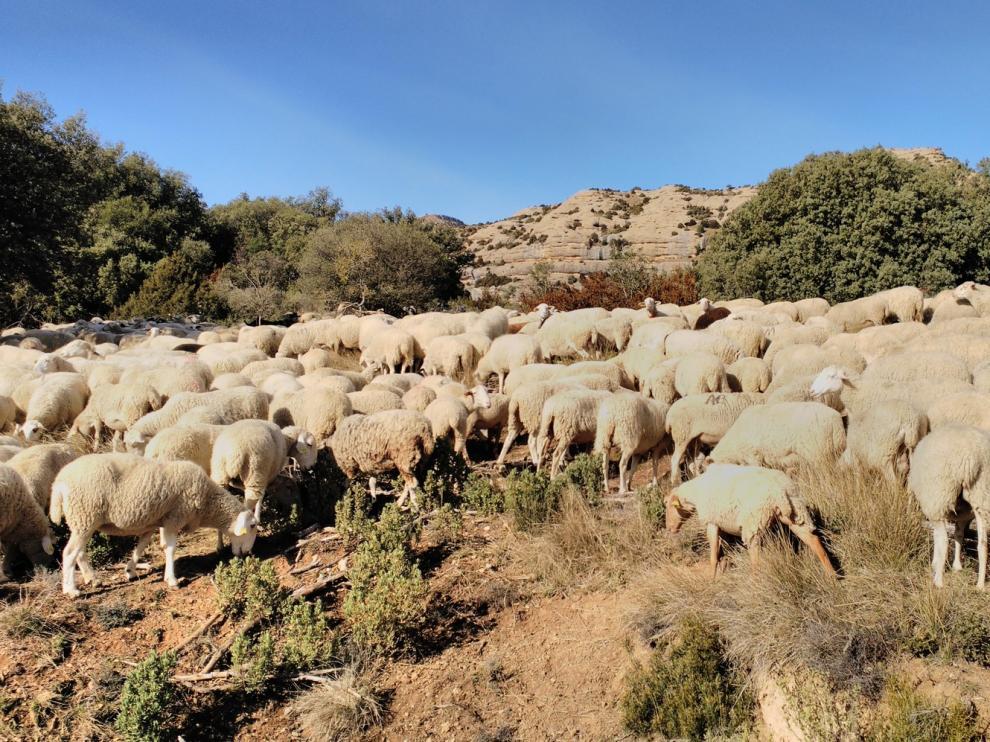 Los ganaderos de ovino y caprino aragoneses recibirán un complemento a la PAC de 924.281 euros