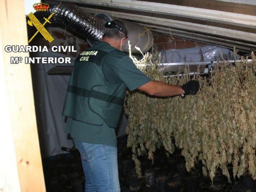 Intervienen 584 plantas de marihuana en Alcañiz