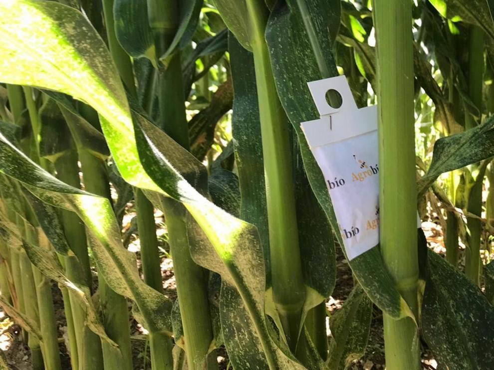 Hallan un organismo que reduce los daños de la araña roja en maíz