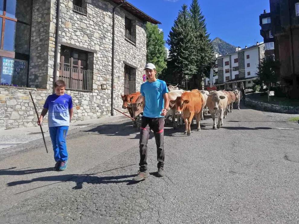 Las vacas dejan las montañas de Cerler para pastar en Estós hasta El Pilar
