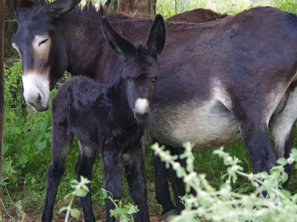 Secastilla impulsa el pastoreo con burros para eliminar el riesgo de incendios