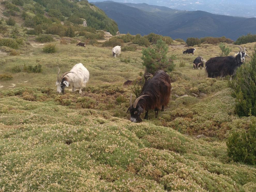 Los erizones y las cabras