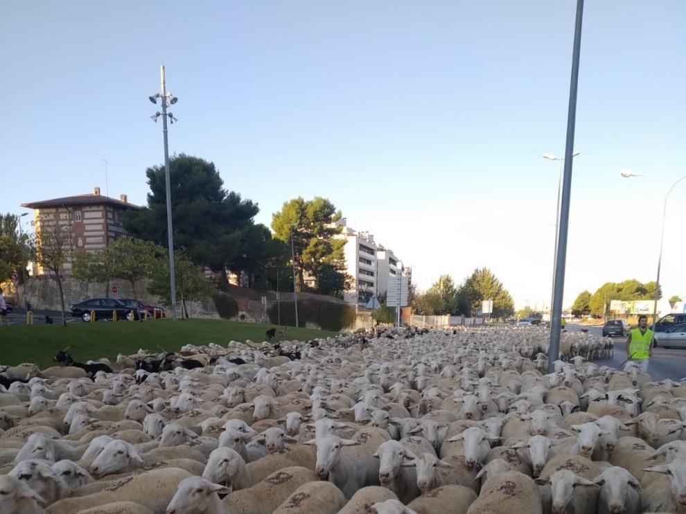 """Alrededor de 2.000 ovejas se """"adueñan"""" de la ciudad de Huesca en su paso trashumante"""