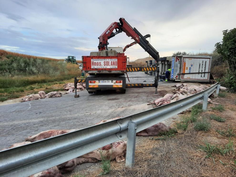 El vuelco de un camión deja 200 cerdos muertos en la calzada en Peralta de Alcofea