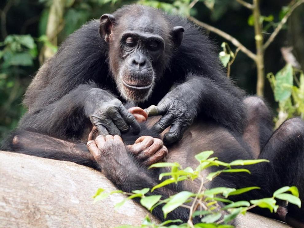 Los chimpancés pueden sufrir de por vida quedarse huérfanos