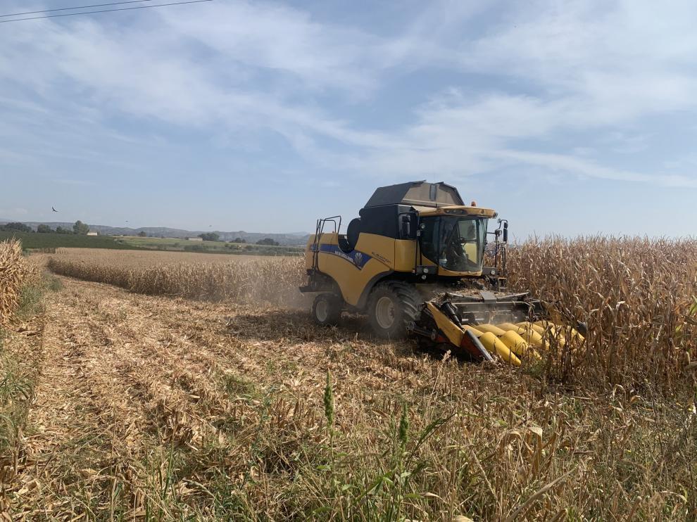 En marcha la cosecha de maíz de consumo humano en La Litera y Cinca Medio