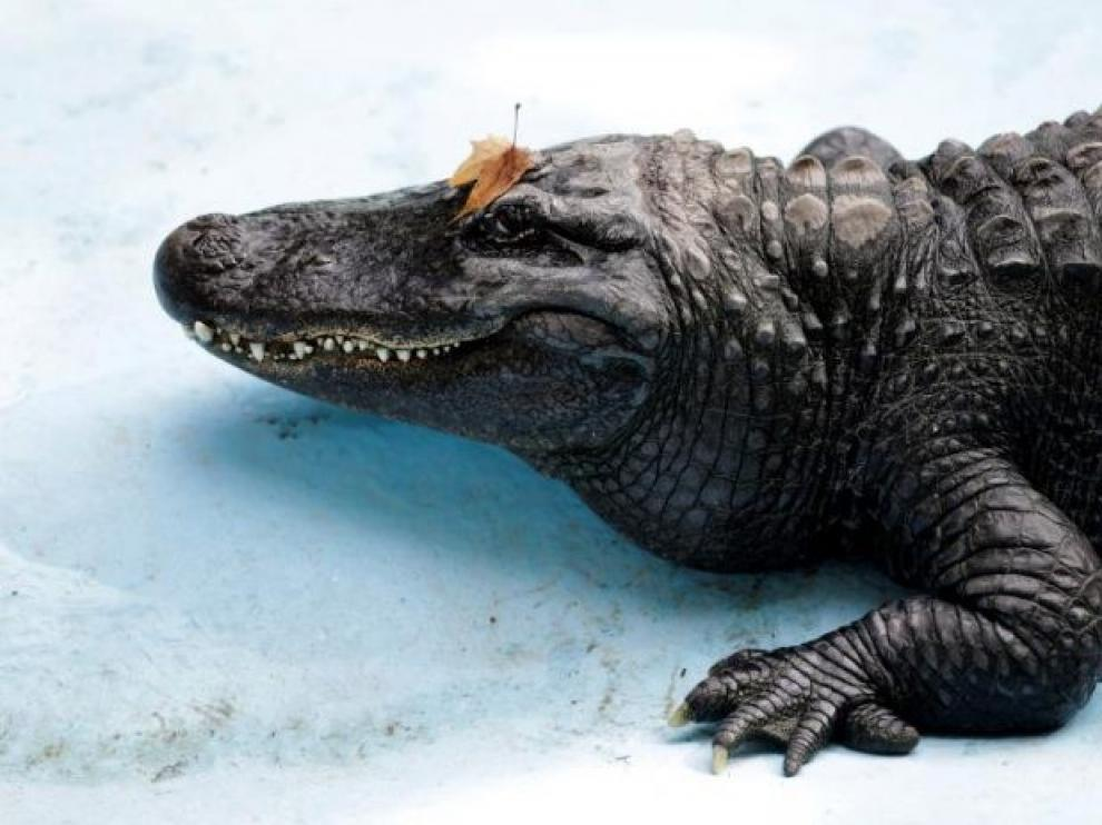 El aligátor más viejo del mundo vive en el zoo de Belgrado
