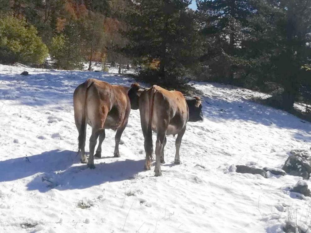 Los ganaderos bajan sus vacas de los prados de alta montaña, ya entre nieve