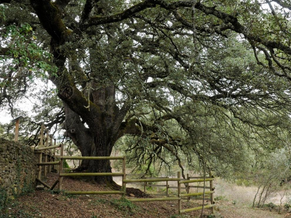 La Carrasca milenaria de Lecina podría ser Árbol Europeo del Año