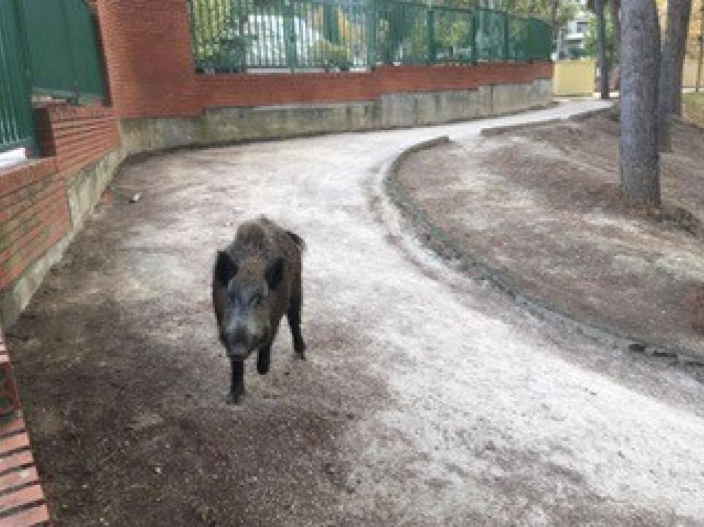 Un jabalí recorre el parque de La Paz de Barbastro ante la sorpresa de los visitantes