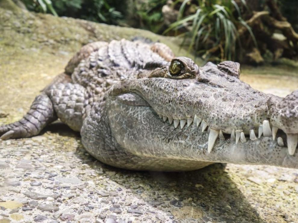 Los caimanes también regeneran sus colas igual que pequeños reptiles