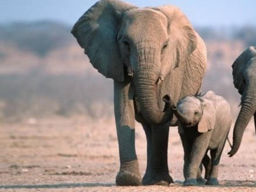 Subastan 170 elefantes en Namibia por la superpoblación  y la sequía